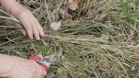 Вручает женщину садовника используя садовничая ножницы для резать сухую траву в саде видеоматериал
