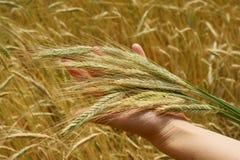 вручает пшеницу Стоковые Фотографии RF
