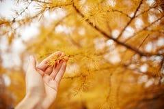 Вручите владению золотую осень с желтыми деревьями в лесном дереве с желтыми иглами лиственницы в руках женщин, осень пришл стоковые изображения