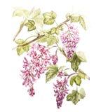 Вручите вычерченной акварели ботаническую иллюстрацию цветков черной смородины Элемент для дизайна приглашений, кино бесплатная иллюстрация