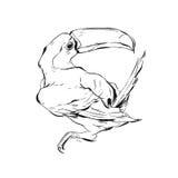 Вручите вычерченной векторной графике brish покрашенную toucan иллюстрацию эскиза птицы изолированную на белой предпосылке Необык Стоковое Изображение RF