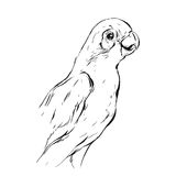 Вручите вычерченному конспекту вектора графические чернила реалистический тропический эскиз попугая изолированный на белой предпо Стоковое Изображение RF