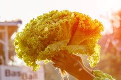 Вручите держателю Hydroponic зеленый салат дуба или зеленый салат в солнце Стоковое Изображение