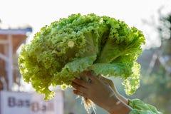 Вручите держателю Hydroponic зеленый салат дуба или зеленый салат в солнце Стоковое Изображение RF