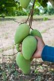Вручите держать пук зеленых и зрелых манго на дереве в o Стоковые Изображения RF
