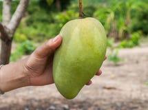 Вручите держать пук зеленых и зрелых манго на дереве в o Стоковая Фотография RF