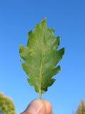 вручите дуб листьев Стоковые Изображения