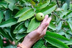 Вручите держать Guava Яблока или общие Guava, Psidium Guajava, Goiaba или Guayaba Стоковые Фотографии RF