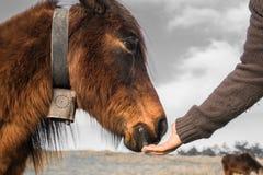 Вручите подавая красивое баскское pottok лошади в горах сельской местности в Баскония в селективном цвете, Франции Стоковые Фото
