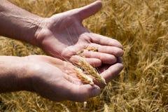 вручите пшеницу человека s Стоковое Фото