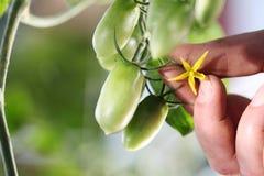 Вручите цветок касания зеленого качества управлением томатов вишни стоковая фотография rf