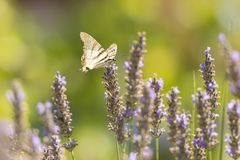 Вряд бабочка o podalirius Iphiclides бабочки swallowtail Стоковые Изображения