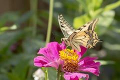вряд swallowtail Стоковое фото RF