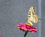 вряд swallowtail Стоковое Изображение
