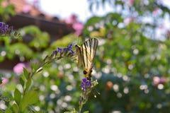 Вряд образец бабочки Swallowtail на цветках Duranta Стоковое Изображение RF