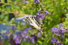 Вряд образец бабочки Swallowtail на цветках Duranta Стоковое Изображение