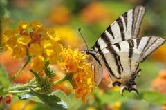 вряд swallowtail Стоковые Фото