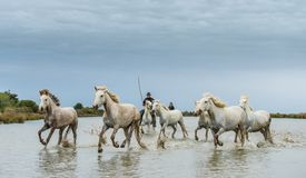 Всадники на белых лошадях Camargue скакать через воду Стоковые Фото