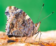 всасывать бабочки Стоковые Фото