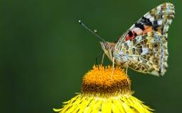 всасывать нектара бабочки Стоковая Фотография RF