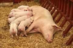 всасывать свиньи стоковые изображения