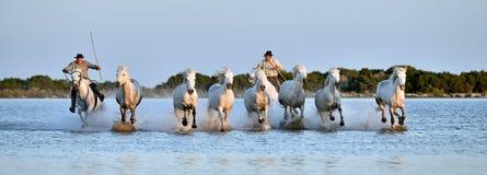 Всадники и табун белых лошадей Camargue бежать через воду Стоковая Фотография
