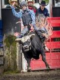 Всадник быка женщины Стоковые Фото