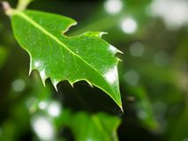 Всегда зеленый spiky конец лист вверх по дереву сочной листвы Стоковые Фото
