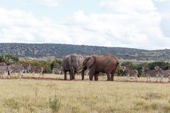 Всем нужна вода - слон Буша африканца Стоковое Изображение