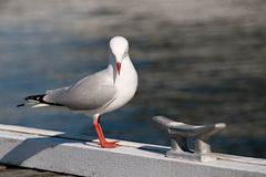Всепокорная красота - чайка Стоковая Фотография
