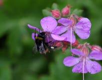 Всепокорная пчела Стоковое Фото