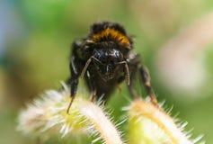 Всепокорный конец пчелы вверх Стоковые Фотографии RF