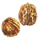 2 всех грецкого ореха, изолированный объект грецкого ореха, иллюстрация акварели на белизне бесплатная иллюстрация