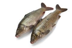 2 всех рыбы вырезуба Стоковое фото RF