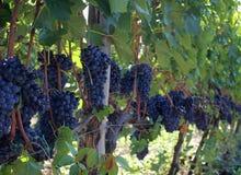 Все еще виноградники Стоковое фото RF
