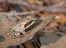 Все еще деревянная лягушка Стоковые Изображения RF