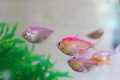 Все красивые и красочные виды рыб диска в аквариуме удят, принесенный к нам от вод Амазонки Стоковые Изображения