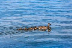 Все маленькие утята за мамой Стоковая Фотография RF
