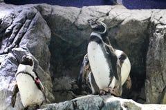 Все тело посылки пингвинов Гумбольдта в национальном зоопарке Стоковые Изображения