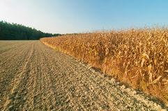 Вспаханные земля и кукурузное поле Стоковые Фото