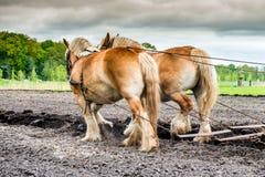 2 вспахивая лошади на поле Стоковое Фото