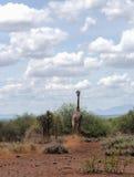 Вспугнутые бега жирафа на саванне Стоковые Изображения RF