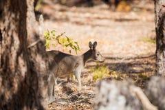 Вспугнутый кенгуру в одичалом Стоковая Фотография RF