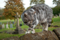 Вспугнутый кот на стене Стоковая Фотография RF