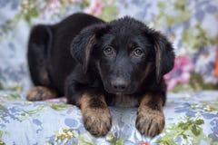 Вспугнутый щенок дворняжки Стоковая Фотография RF