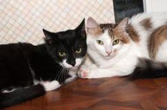 2 вспугнули longhair котенка черно-белого с ложью пятен близко Стоковое фото RF