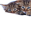 Вспыльчивые котята Стоковая Фотография RF