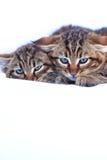 Вспыльчивые котята Стоковое фото RF