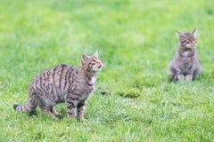 2 вспыльчивых котят Стоковые Изображения