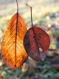2 вставленных совместно листь осени Стоковое Фото